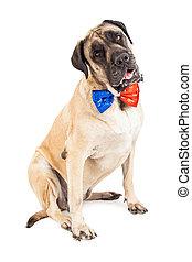 Perro Mastín rojo y azul corbata festiva