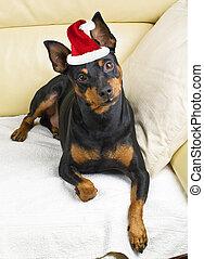 Perro pinscher en el sofá con sombrero de Santa Claus