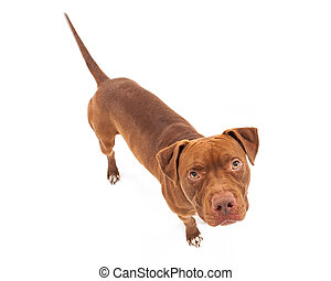 Perro Pit bull mirando hacia arriba
