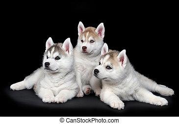 Perro salvaje siberiano