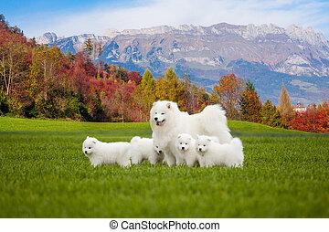 perro, samoyedo, hermoso, retrato, puppies., perros, paisaje.