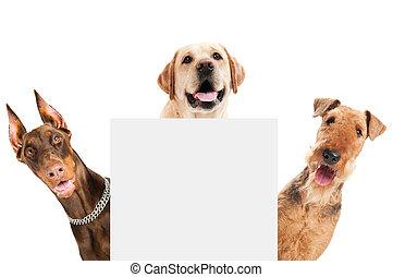 perro, terrier, aislado, airedale