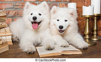 perros, blanco, libro, perritos, samoyedo, navidad
