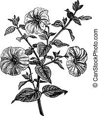 Petunia o Petunia sp., grabado añejo