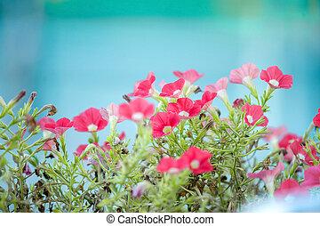 Petunias rosas de fondo azul