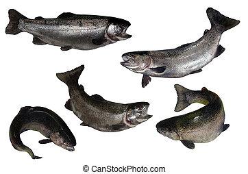 pez, salmón