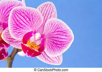 Phalaenopsis, flor de orquídea polilla en el fondo azul