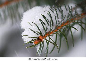 picea, nieve, rama