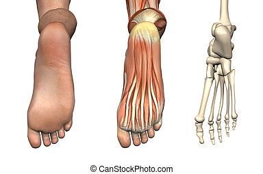 pie, anatómico, overlays, -