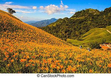 piedra, naranja, sesenta, daylily, taiwán, montaña