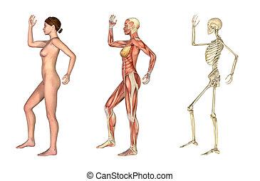 pierna, anatómico, overlays, -, hembra, arme doblado