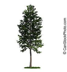 (pinus, árbol, aislado, pino, escocés, blanco, sylvestris)