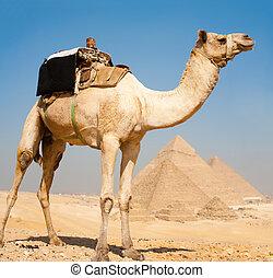Pirámides de camellos juntos