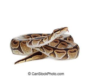 pitón, real, serpiente