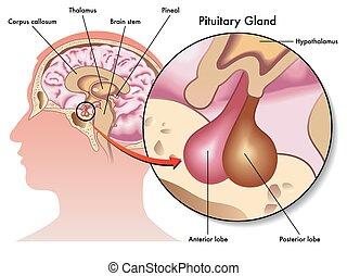 pituitario, glándula