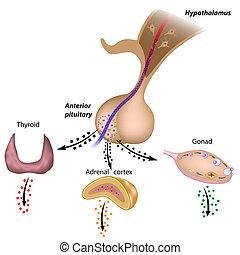 pituitario, hachas, hypothalamic