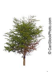 plano de fondo, árbol, blanco, aislado