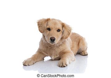 plano de fondo, perrito, perro labrador, lindo, abajo, colocar, blanco