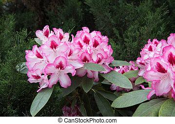 plano de fondo, rhododendron., flor grande, flores, occidental, textura
