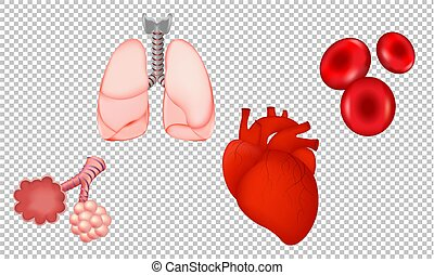 plano de fondo, transparente, humano, órganos, aislado