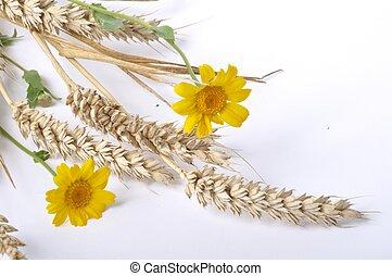 plano de fondo, trigo, blanco, margaritas, dorado