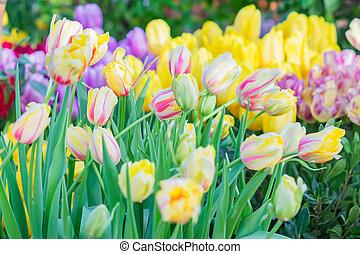 plano de fondo, tulipanes, colorido