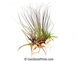 Planta aérea (Epiphyte) creciendo en una cáscara de mar.