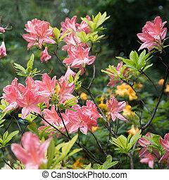 planta, brillante, rhododendron., japonés, flores grandes, elegante