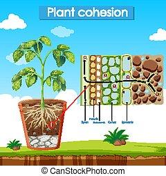 planta, cohesión, actuación, diagrama