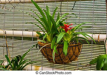 Planta de aire roja tufted en una cesta de flores, popular planta decorativa tropical de América