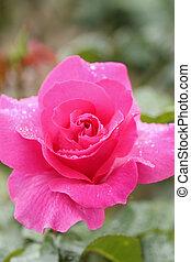 Planta de flores rosada con gota de agua