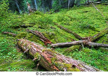 Planta forestal de Yoho