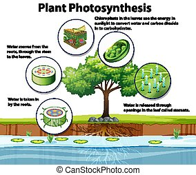 planta, fotosíntesis, diagrama, actuación