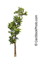 Planta Neem (Azadirachta indica), árbol tropical en el noreste