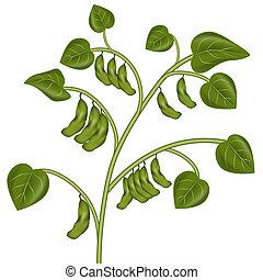 planta, soja