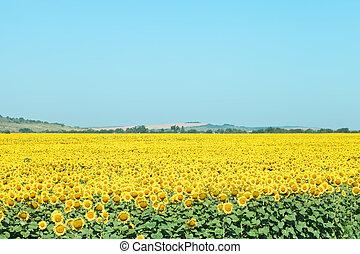plantación, verano, colinas, girasol, día