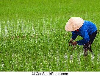 plantación, vietnam:, rice.