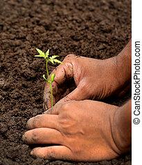 Plantando la planta de neem