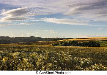 Plantas de Camomile en primer plano. Campo de verano nocturno con el cielo de la puesta de sol.