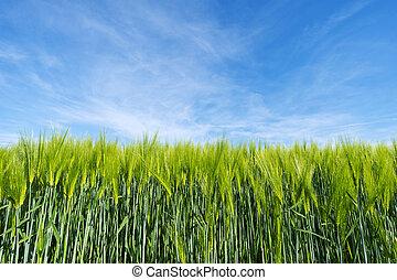 Plantas de trigo de agricultura