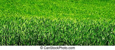 Plantas de trigo jóvenes
