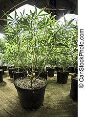 plantas, frondoso, interior, verde, marijuana
