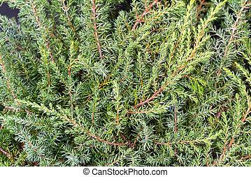 Plantas ornamentales verdes y coníferas.