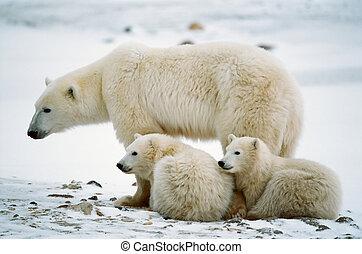Polar su oso con cachorros.