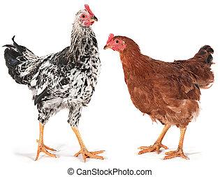 pollo, joven, gallo