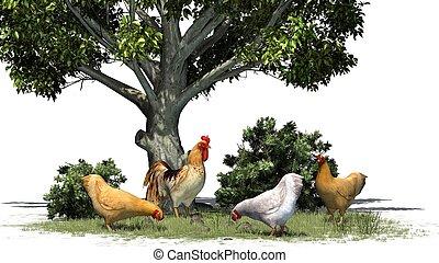 Pollos y gallo