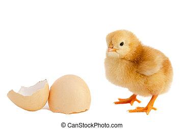 polluelo del bebé, adorable