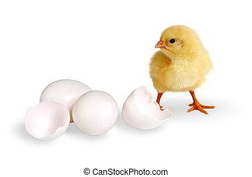 polluelo, huevos