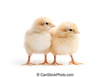 polluelos, blanco, joven, aislado, dos