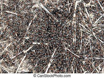 polyctena, hormigas, formica